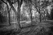 Shadows Photos - Willows in spring park by Elena Elisseeva