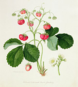Wild Strawberries Framed Prints - Wilmots Cocks Comb Scarlet Strawberry Framed Print by William Hooker