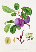 Plums Posters - Wilmots Early Violet Plum Poster by William Hooker