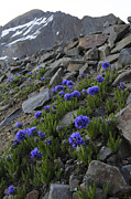 Blurred Background Prints - Wilson Peak Wildflowers Print by Aaron Spong