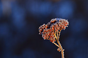 Wilted Frozen Flower Print by Tommy Hammarsten