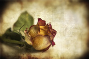 Texture Flower Prints - Wilted rose Print by Veikko Suikkanen