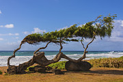 Blue Sky And Sand Posters - Wind Blown Tree 2 - Kauai Hawaii Poster by Brian Harig