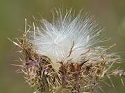 Bull Thistle Posters - Wind Catchers Poster by Maria Urso - Artist and Photographer