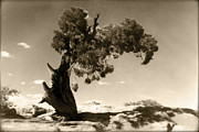 Daguerreotype Framed Prints - Wind Swept Tree Framed Print by Scott Norris