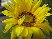 Rose Cottage Gallery Posters - Windblown Sunflower Three Poster by Barbara McDevitt