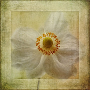 Close Focus Floral Prints - Windflower Textures Print by John Edwards