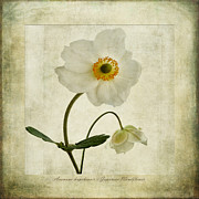 Isolated Digital Art Prints - Windflowers Print by John Edwards