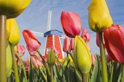 Woodburn Posters - Windmill And Tulips At Wooden Shoe Poster by Dan Sherwood