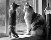 Photography Of Black Cats Photos - Window of Opportunity bw by Elizabeth Sullivan