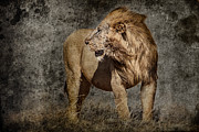 Rhinocerus Prints - Windswept Lion Print by Mike Gaudaur