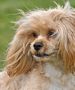 Maltese Photos - Windy Day Yorkie Portrait by Lisa  DiFruscio