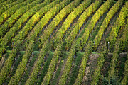Grapevine Photos - Wine acreage in Germany by Heiko Koehrer-Wagner