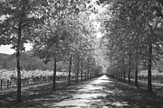 Tree Allee Framed Prints - Wine Country Napa black and white Framed Print by Suzanne Gaff