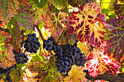 Grape Vineyards Photo Posters - Wine grapes Cabernet Franc Poster by Garry Gay