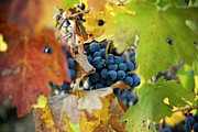 Grapevine Autumn Leaf Prints - Wine Grapes Print by Charmian Vistaunet