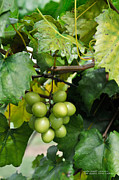 Wine Making Posters - Wine Grapes Poster by David Perry Lawrence