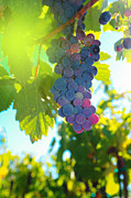 Blue Grapes Posters - Wine grapes  Poster by Jeff  Swan
