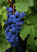 Blue Grapes Photos - Wine Grapes by Michael Blesius