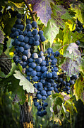 Winery Photography Posters - Wine Grapes Poster by Tetyana Kokhanets