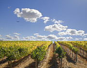 Wine Vineyard Photo Originals - Wine Vineyard Bird In the Sky by Kathy Sidjakov