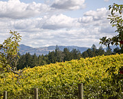 Wine Vineyard Photo Originals - Wine Vineyard Sonoma Mountains by Kathy Sidjakov
