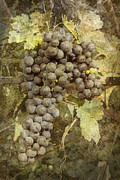 Wine Making Digital Art Prints - Winery Grapes Print by Carrie Cranwill