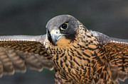 Peregrine Falcon Prints - Winged Portrait Print by Dale Kincaid
