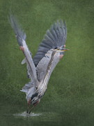 Great Blue Heron Photos - Wings by Angie Vogel