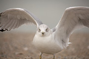 Ring-billed Gull Prints - Wings Print by Karol  Livote