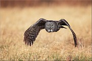 Great Gray Owl Pyrography - Wings of Motion by Daniel Behm