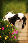 Japanese Chin Framed Prints - Winnie Framed Print by Andrea Fitch