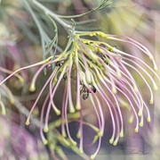 Spider Flower Framed Prints - Winparra Gem Framed Print by Linda Lees