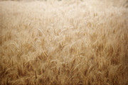 Beige Wall Art Framed Prints - Winsome Wheat Framed Print by Amy Tyler