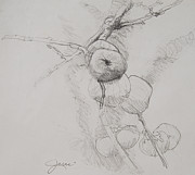 Fruit Trees Drawings - Winter Apples Sketch by Jani Freimann