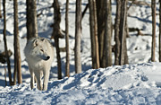 Arctic Wolf Pics Posters - Winter Arctic Wolf Poster by Wolves Only