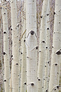 Colorado Photography Photos - Winter Aspen Tree Forest Portrait by James Bo Insogna