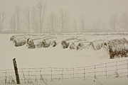Paul Wash Art - Winter Bales by Paul Wash