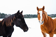 Quarter Horses Posters - Winter Beauties Poster by Cheryl Baxter