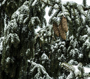 Pine Cones Photos - Winter Begins by Arlene Carmel