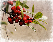 Red Berries Framed Prints - Winter Berries 1 Framed Print by Jai Johnson