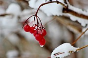 Vickie Ketch - Winter Berries