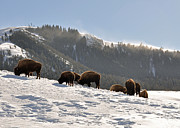 Bison Photos Posters - Winter Bison Herd in Yellowstone Poster by Bruce Gourley