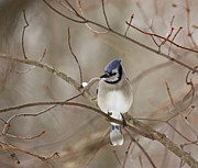 Karl Gebhardt - Winter Blue Jay