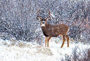 Snow Scenes Metal Prints - Winter Buck Metal Print by Darren  White