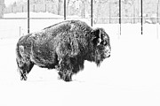 Lauri Novak - Winter Buffalo
