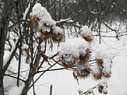 Sandra Martin - Winter Burdock