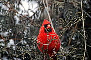 Richelieu Prints - Winter Cardinal 03 Print by Thomas Woolworth