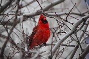 Eric Menk Metal Prints - Winter Cardinal Metal Print by Eric Menk