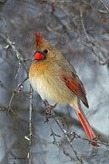 Red Cardinals In Snow Prints - Winter Cardinal Print by Gerald Marella